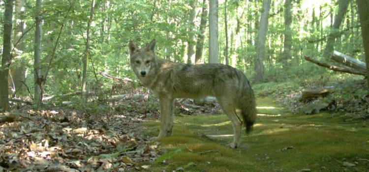 Newsday Opinion: Coyotes on Long Island