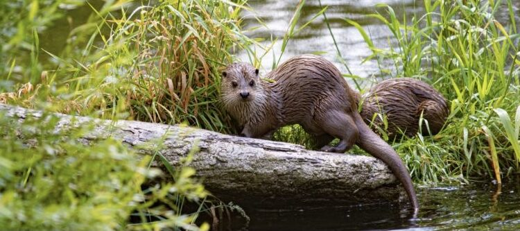 """River Otters continue to expand distribution on Long Island; """"Otter Stairway"""" mitigation experiment completed."""
