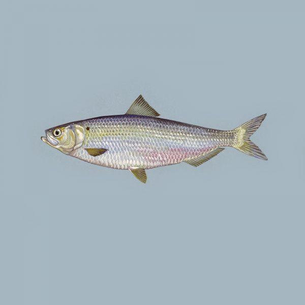 Blueback_herring_fish_image