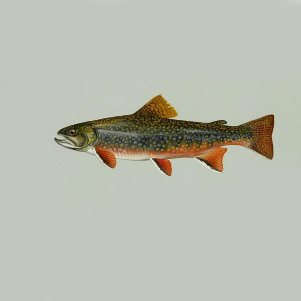 Brook_trout_freshwater_fish-1